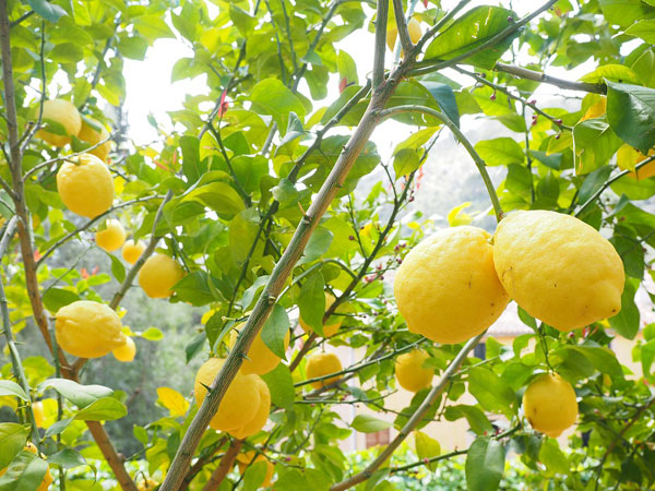 レモンのアロマオイルのイメージ写真