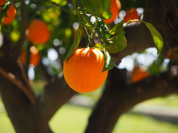 オレンジスイートのアロマオイルのイメージ写真